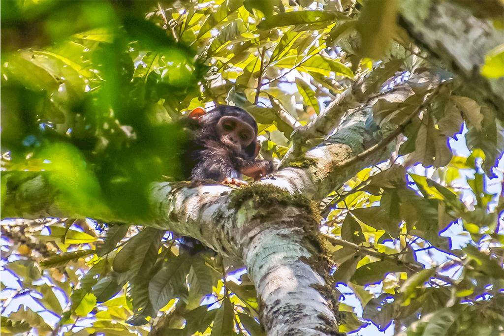 Chimpanzee trekking regions in Uganda