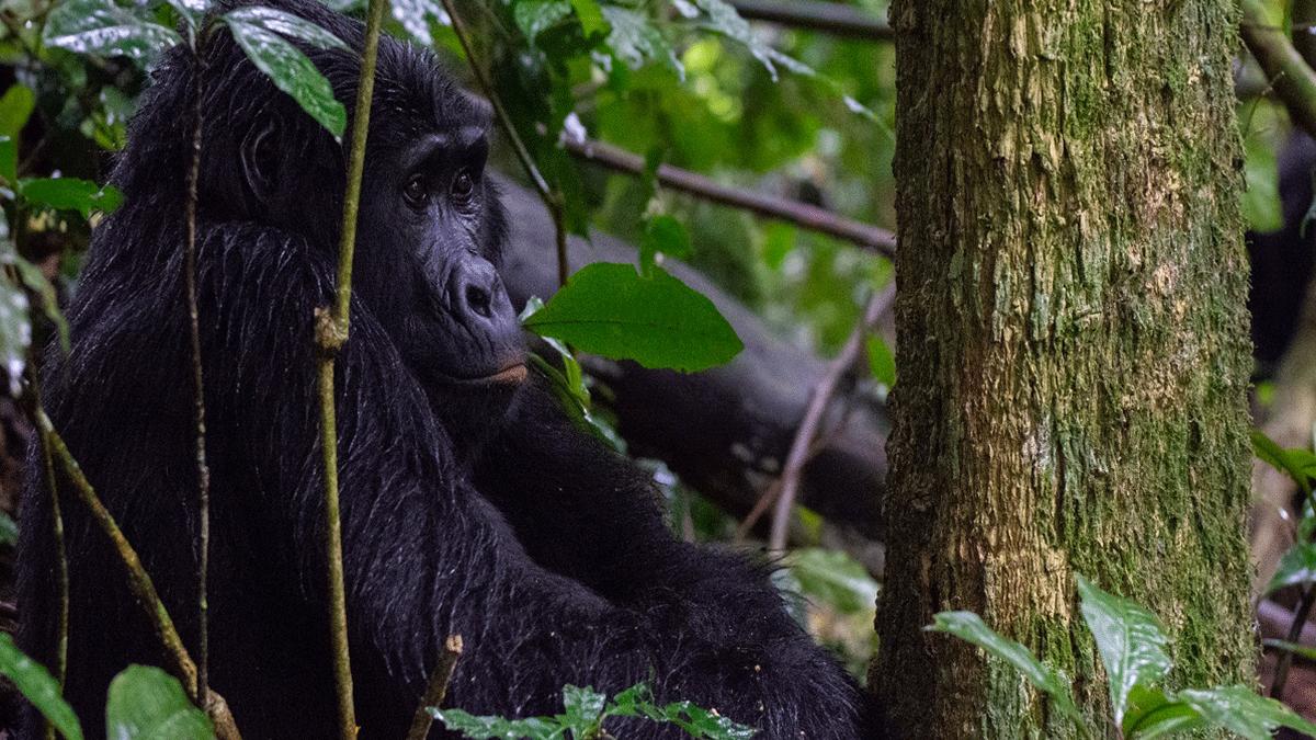 Gorilla Excursion Bwindi