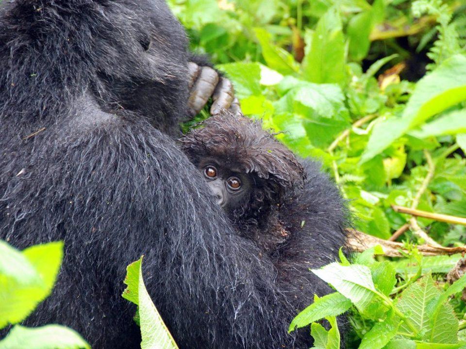 gorilla trekking permits increase in uganda