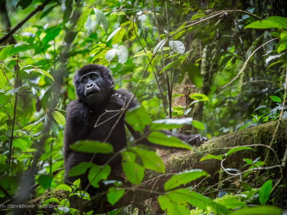 gorilla trekking bwindi - rwanda gorilla permits - Nkuringo Sector