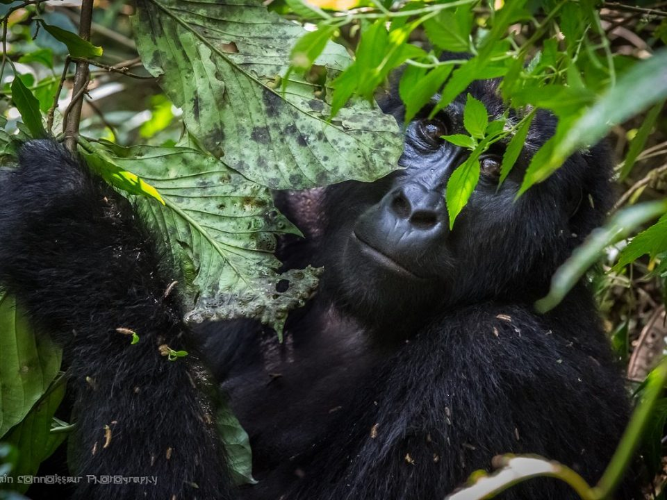 mountain gorilla duration