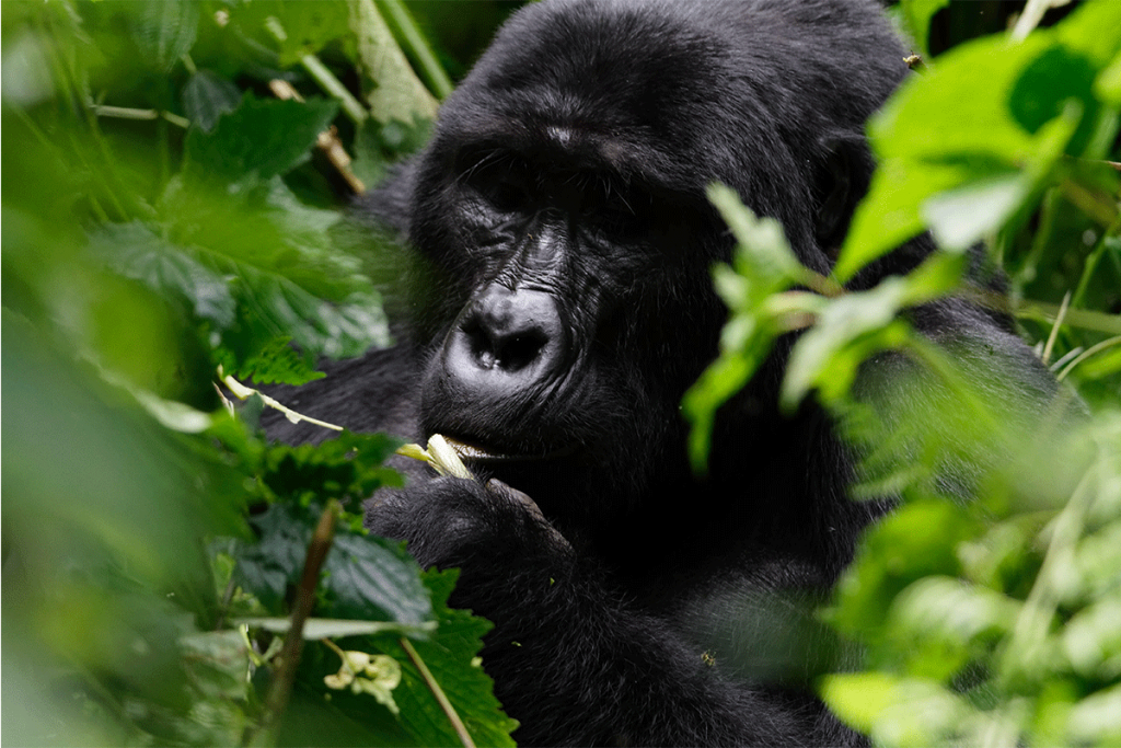 Booking safaris to Uganda - How to get to Bwindi - Rushaga Gorilla Safaris - Ruhija