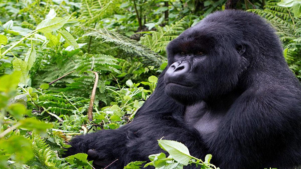 Gorillas-in-Rwanda - 3 days Uganda gorilla safari from Kigali - Tracking