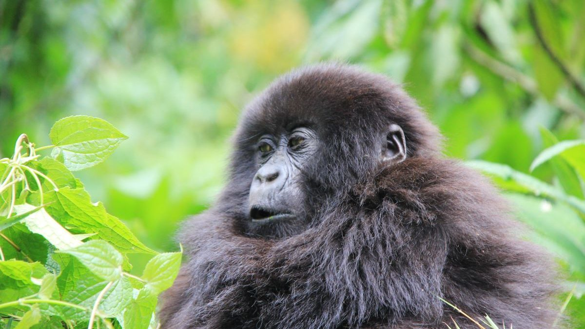 Booking volcanoes gorilla permits