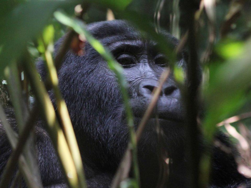 Gorilla trekking in Buhoma region - Budget Buhoma