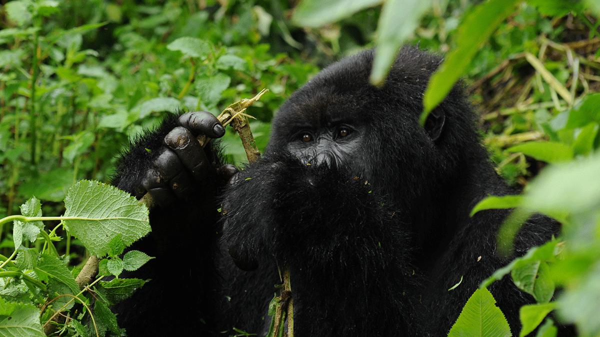 Gorilla families in Rwanda - rwanda increase