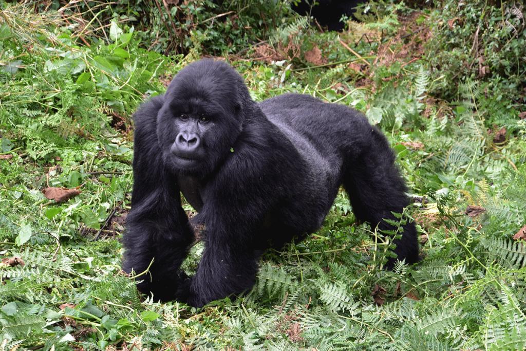 Volcanoes National Park - Rwanda Gorilla