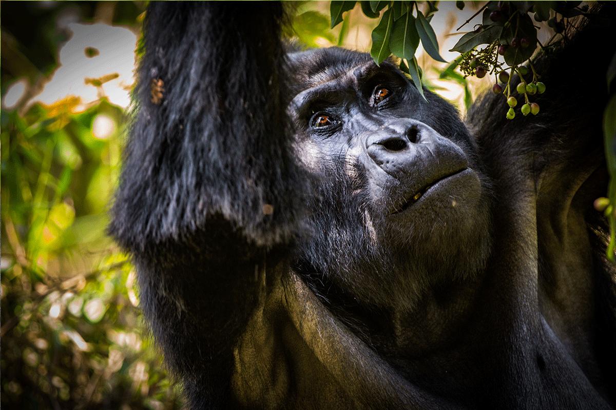 Uganda Gorillas - Wildlife Safari
