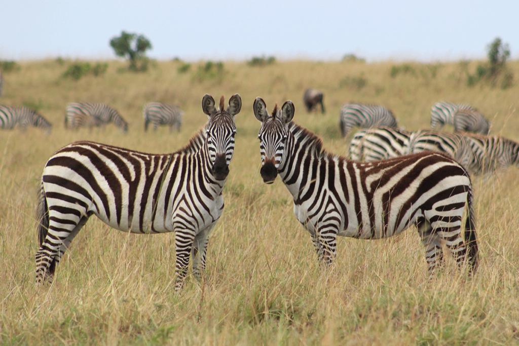 Safari game drives in Lake Mburo national park - Safari Game Drives