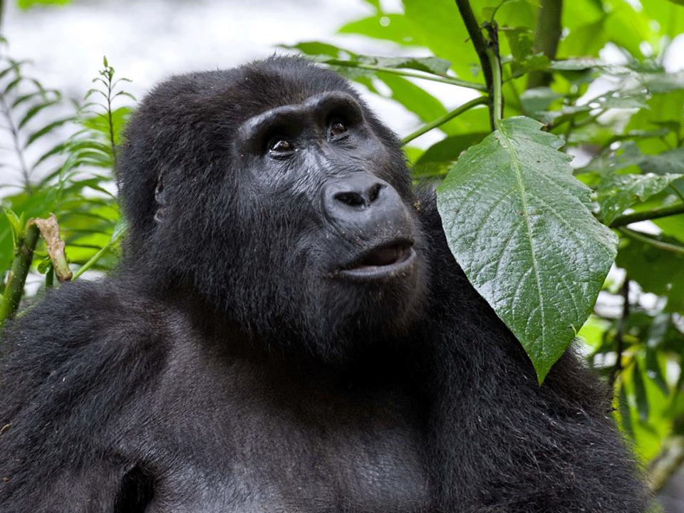Required Age for Gorilla Trekking