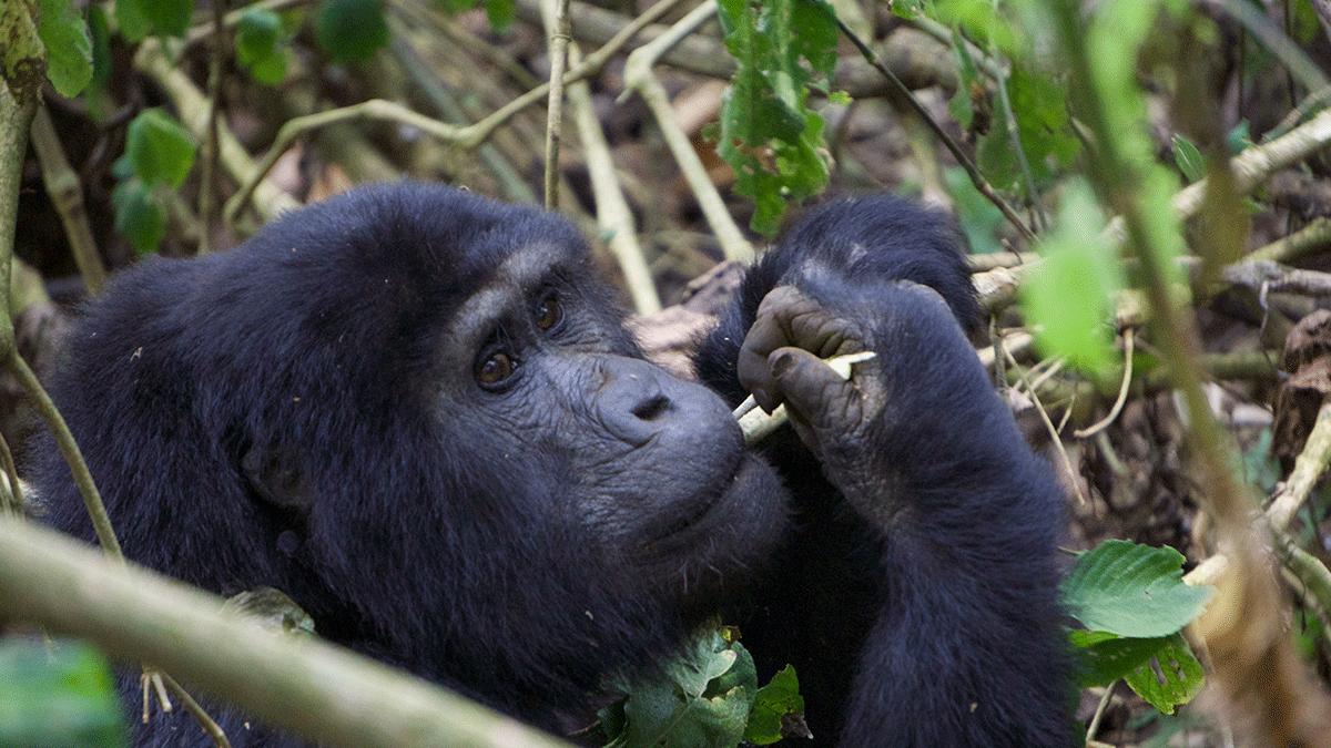 Bwindi Gorilla Tracking - Bwindi Fly-in