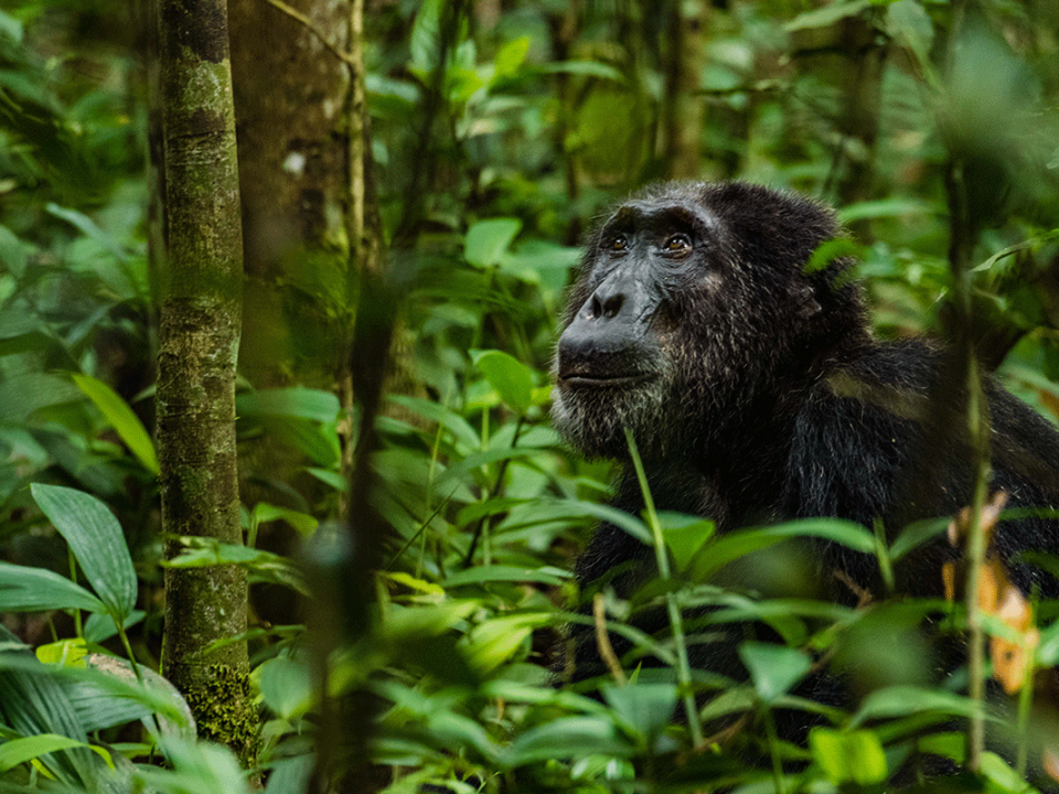Chimpanzee Permits price increase in Kibale national park - Rwanda chimpanzee