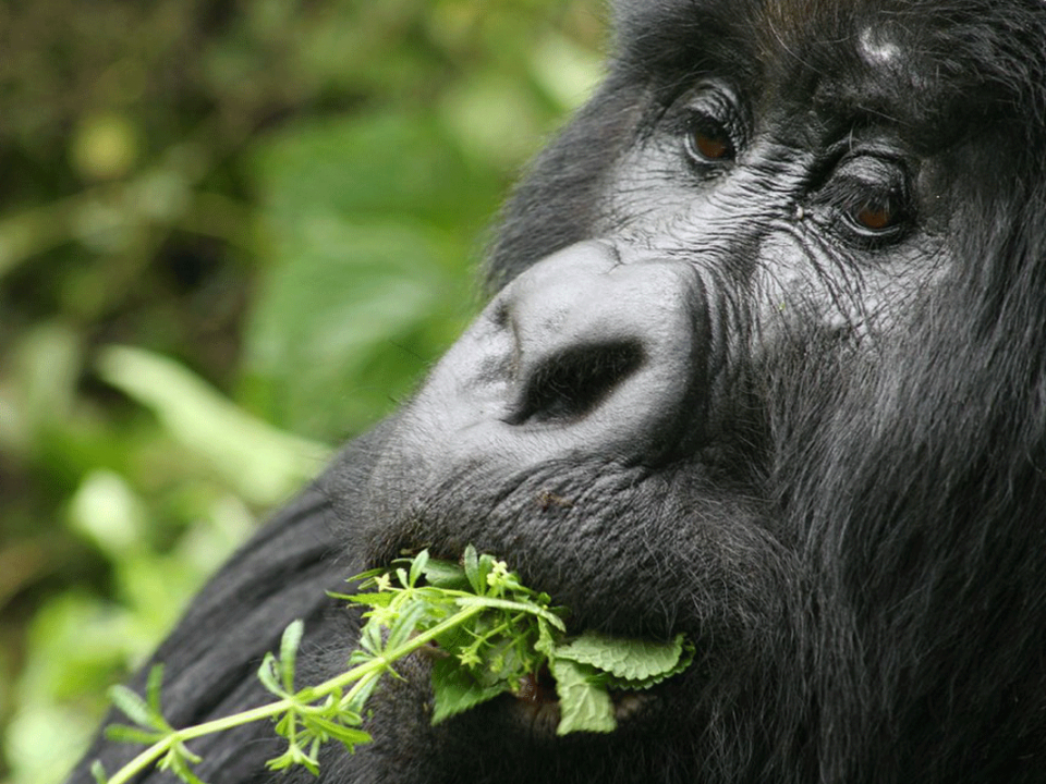 DR Congo - Gorilla Trekking Safari - Luxury Rwanda
