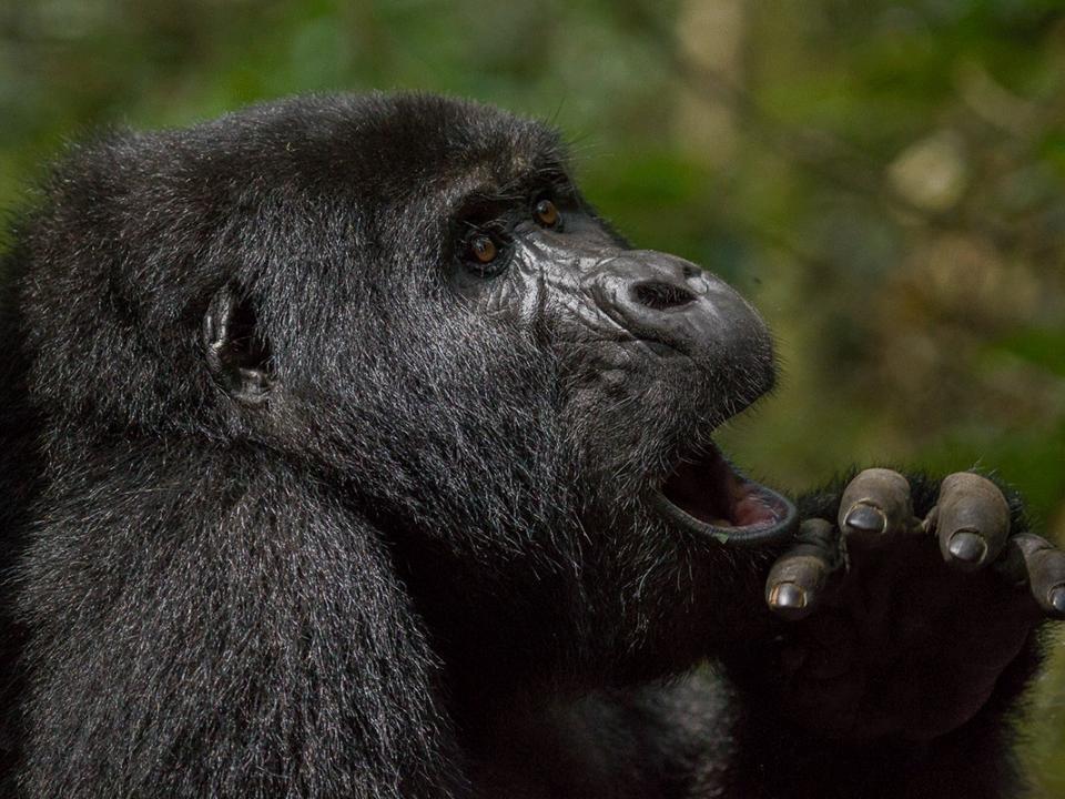 Nkuringo Gorilla Region - Where to see - Mountain Gorillas