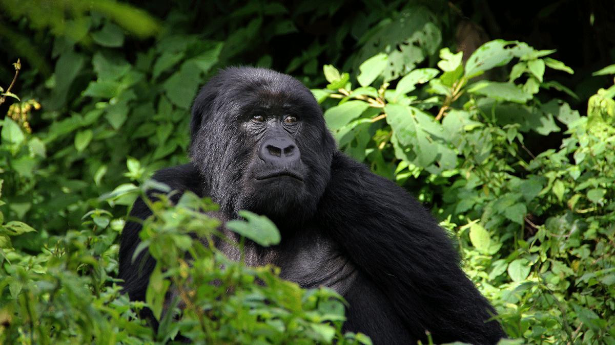 Rwanda Gorilla terms