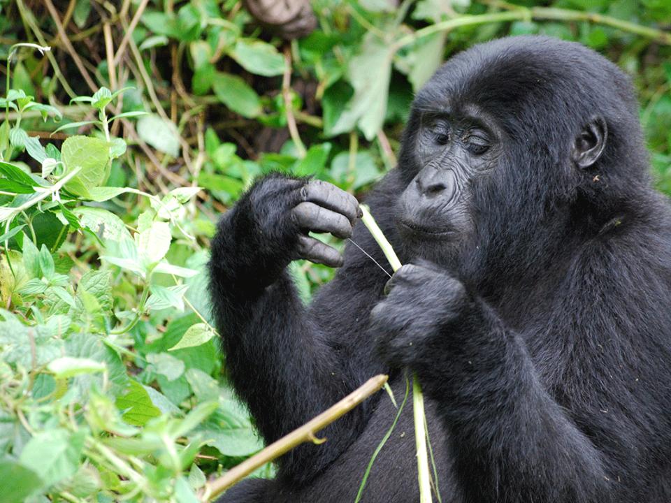 Student Gorilla Tracking