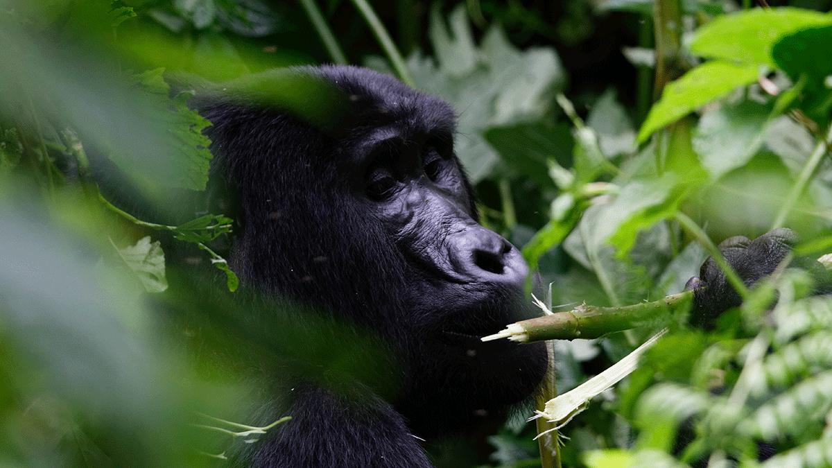 Top Gorilla